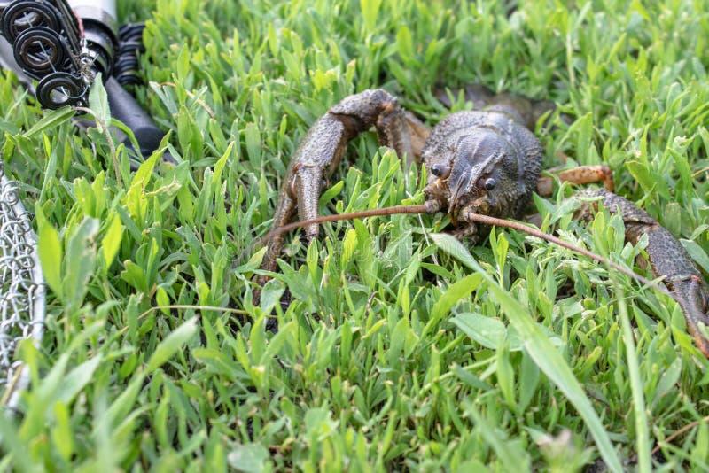 Câncer vivo fresco na grama verde perto das varas de pesca fotos de stock