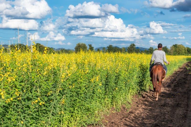 Cânhamo de Sunn, flor do amarelo do juncea do Crotalaria com equitação do jardineiro fotos de stock