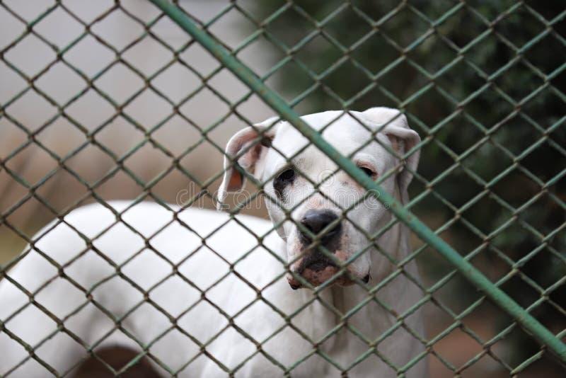 Cão, retrato de Stafford Shire Terrier fotos de stock