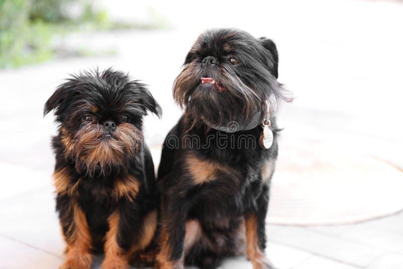 Cães adoráveis de Bruxelas Griffon que sentam-se junto imagens de stock royalty free