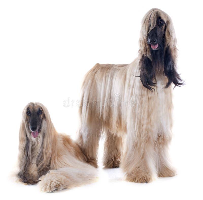 Cães afegãos imagem de stock royalty free