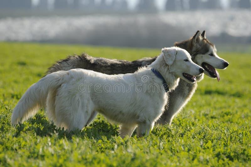 2 cães amigáveis fotografia de stock