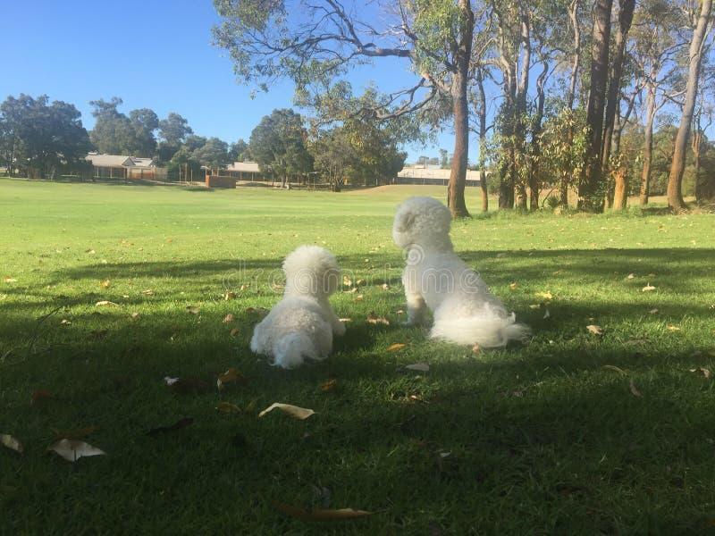 Cães brancos em um parque local fotografia de stock
