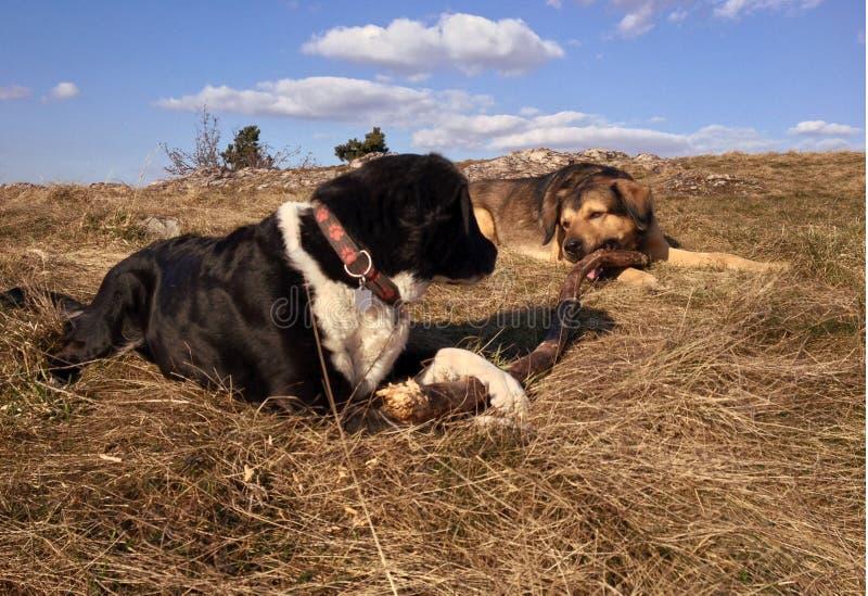 Cães com ramo imagens de stock royalty free