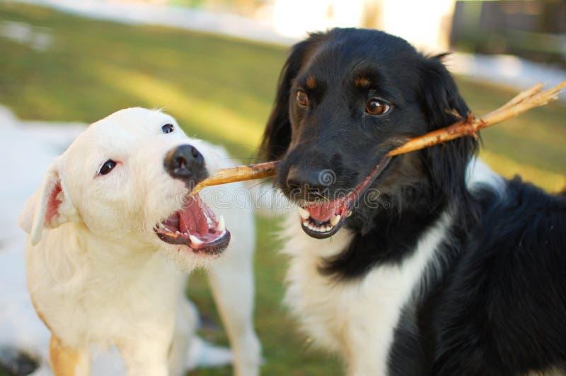 Cães com a vara fotografia de stock royalty free
