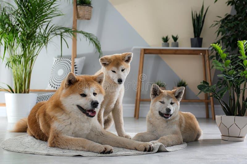 Cães Cute Akita Inu com plantas domésticas imagem de stock