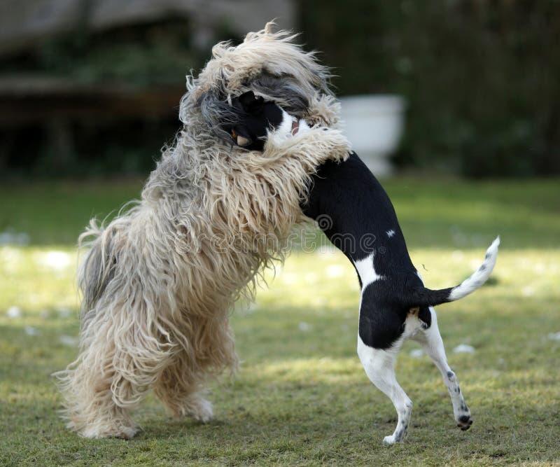 Cães da dança fotos de stock