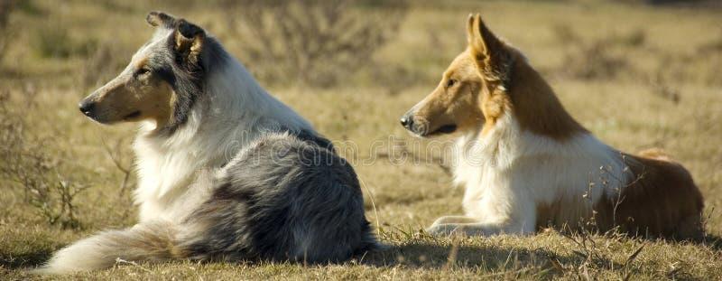 Cães da exploração agrícola imagem de stock