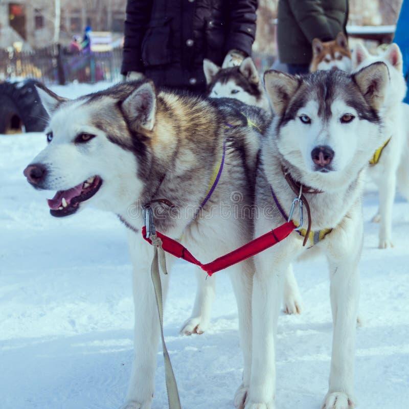 Cães da neve imagens de stock