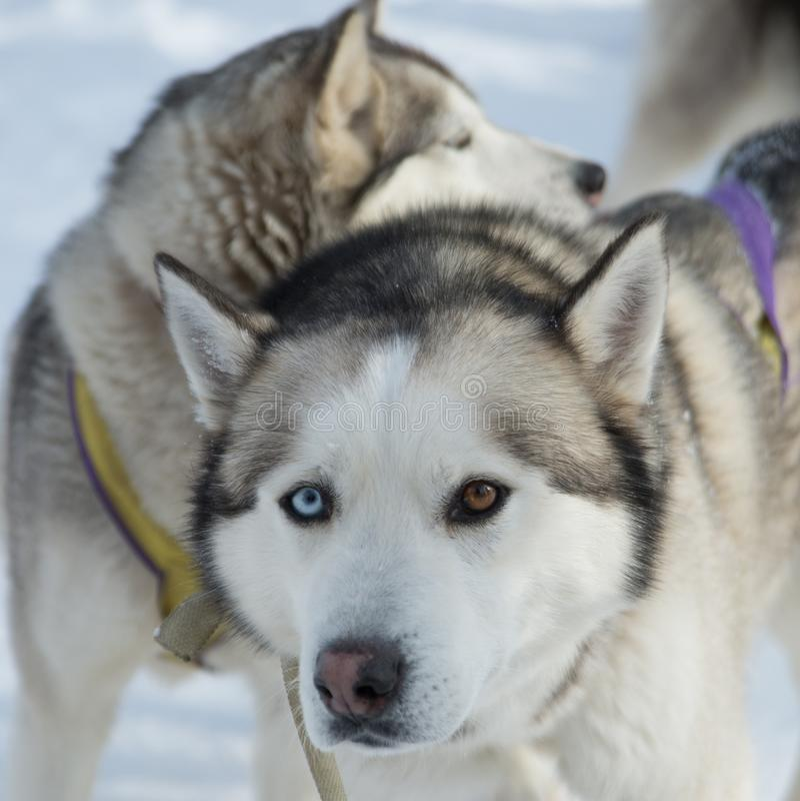 Cães da neve imagens de stock royalty free