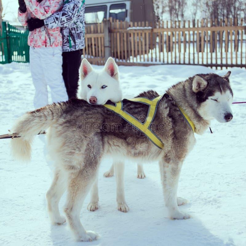 Cães da neve fotos de stock royalty free