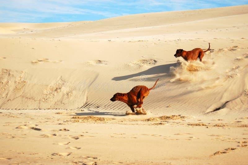 Cães da praia imagens de stock royalty free