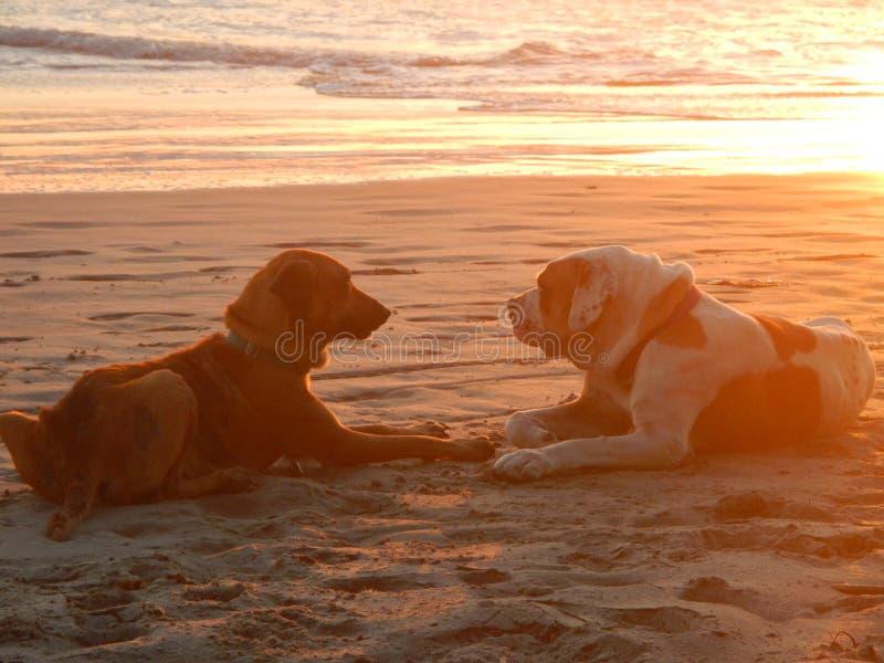 Cães da praia no por do sol fotografia de stock