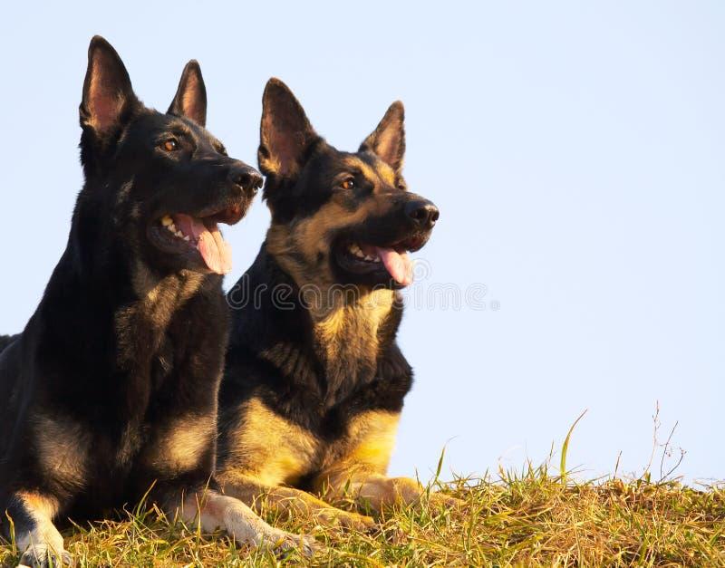 Cães da segurança fotos de stock royalty free