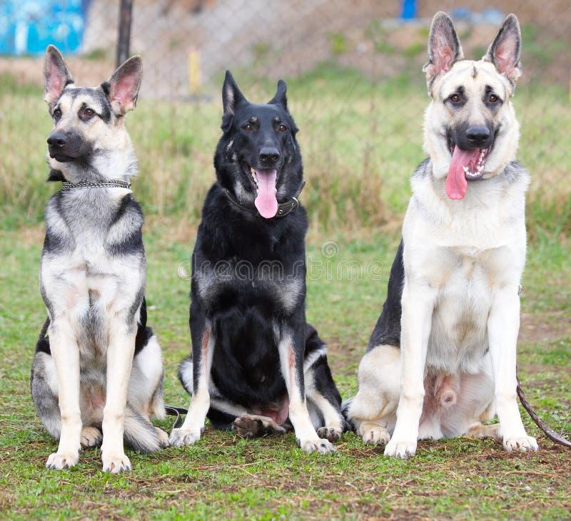 Cães da segurança foto de stock