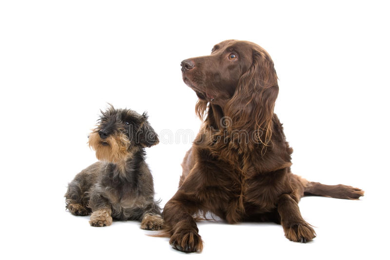 Cães de caça imagens de stock