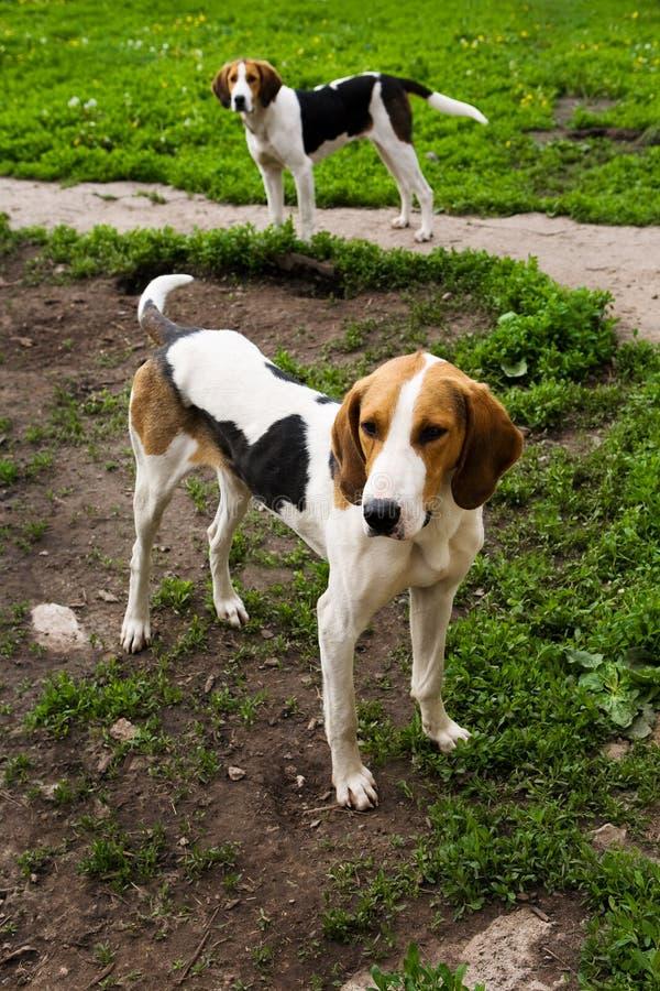 Cães de caça fotografia de stock royalty free