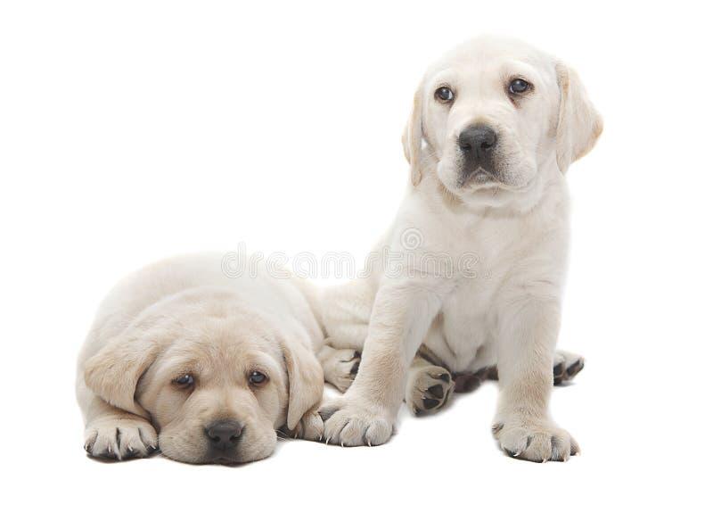 Cães de cachorrinho de Labrador foto de stock royalty free