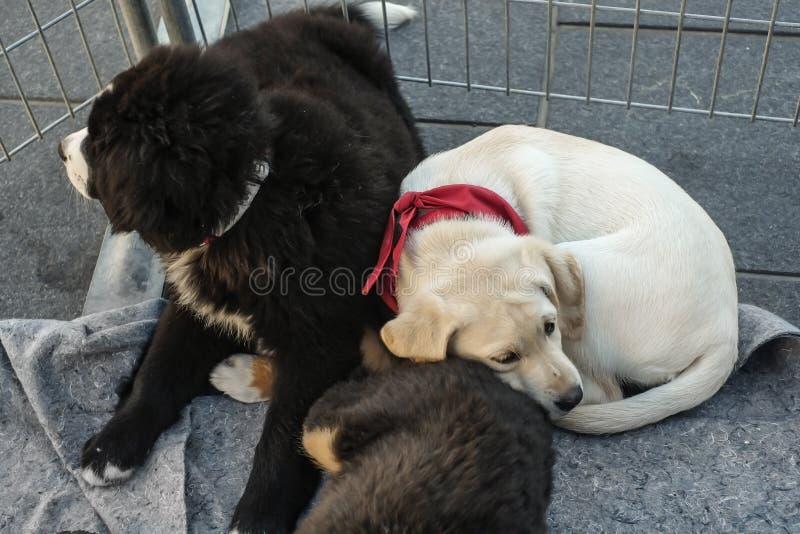 Cães de cachorrinhos de Mira imagem de stock