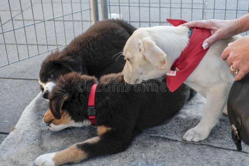 Cães de cachorrinhos de Mira foto de stock