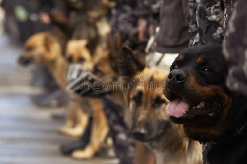 Cães de funcionamento imagens de stock royalty free