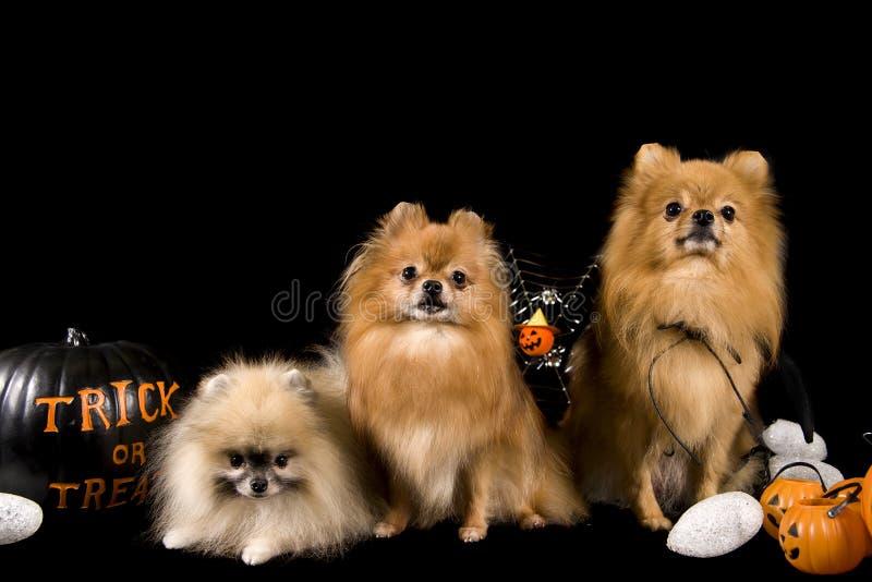 Cães de Halloween foto de stock