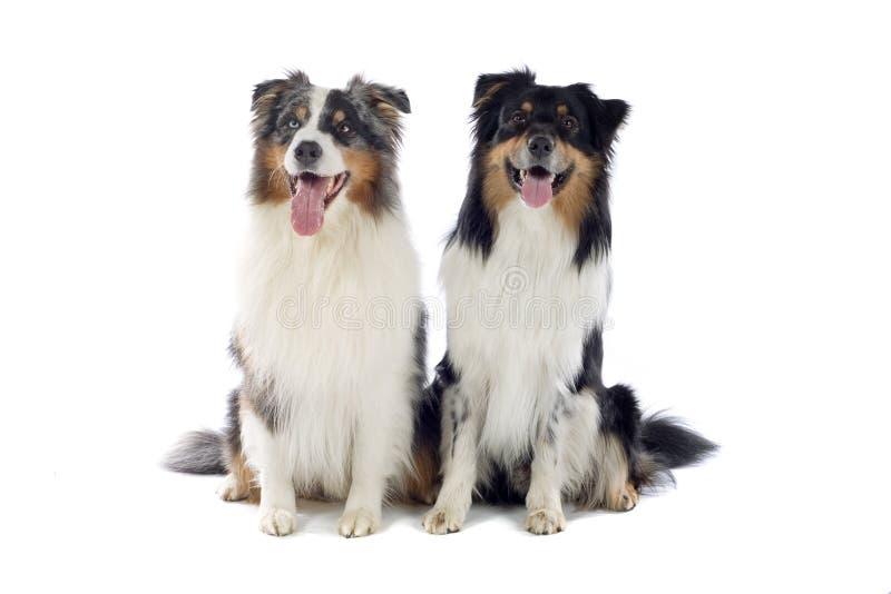 Cães de pastor australianos imagem de stock royalty free