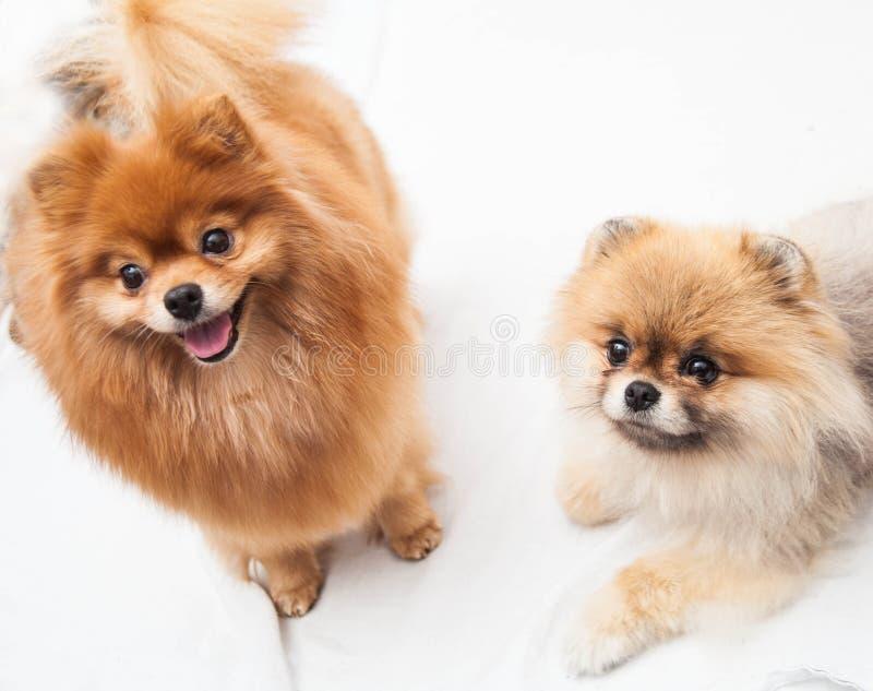 Cães de Pomeranian fotografia de stock royalty free