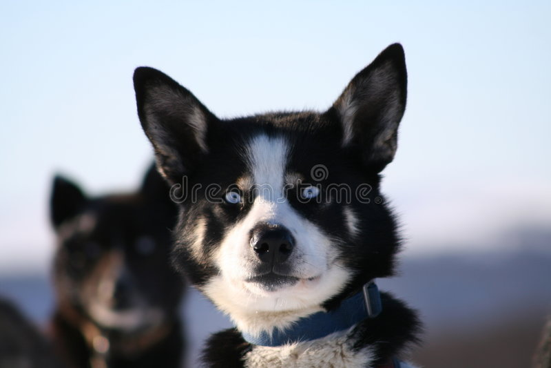 Cães de puxar trenós da neve fotos de stock royalty free