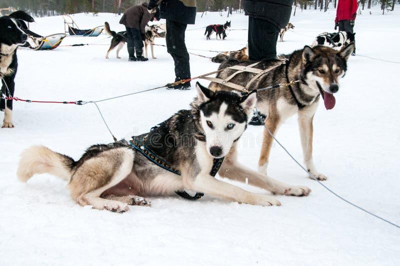 Cães de puxar trenós prontos para o passeio do trenó fotografia de stock