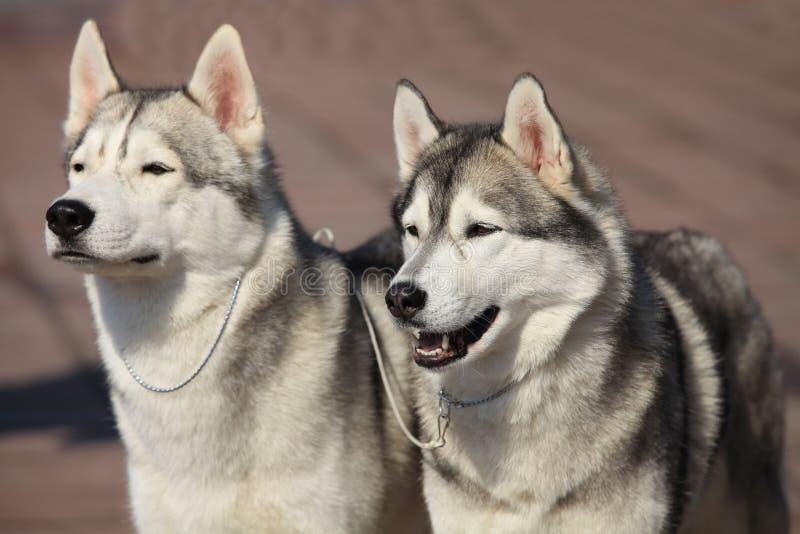 Cães de puxar trenós Siberian fotos de stock royalty free