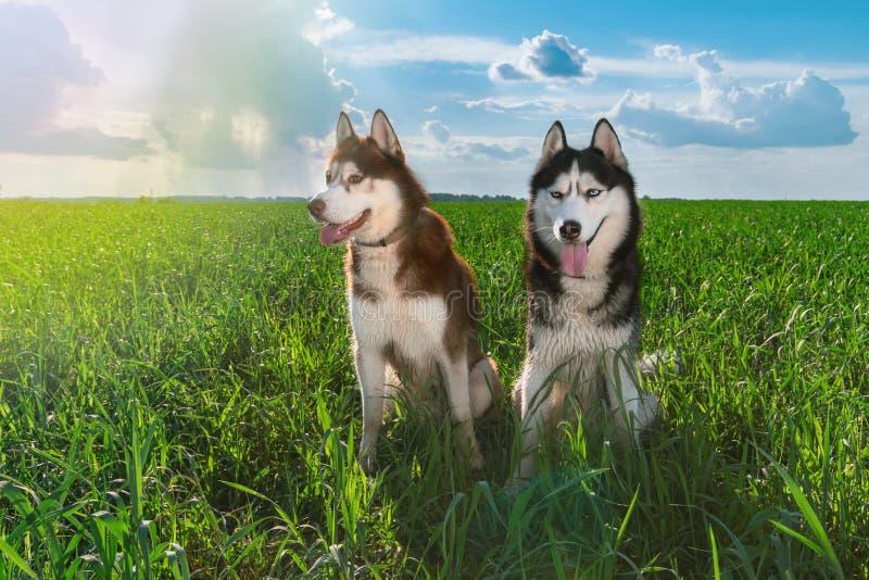 Cães de puxar trenós Siberian dos pares bonitos no dia ensolarado que senta-se na grama verde contra o céu azul e as nuvens Cão r imagem de stock