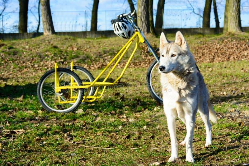 Cães de puxar trenós Siberian que esperam a raça fotos de stock