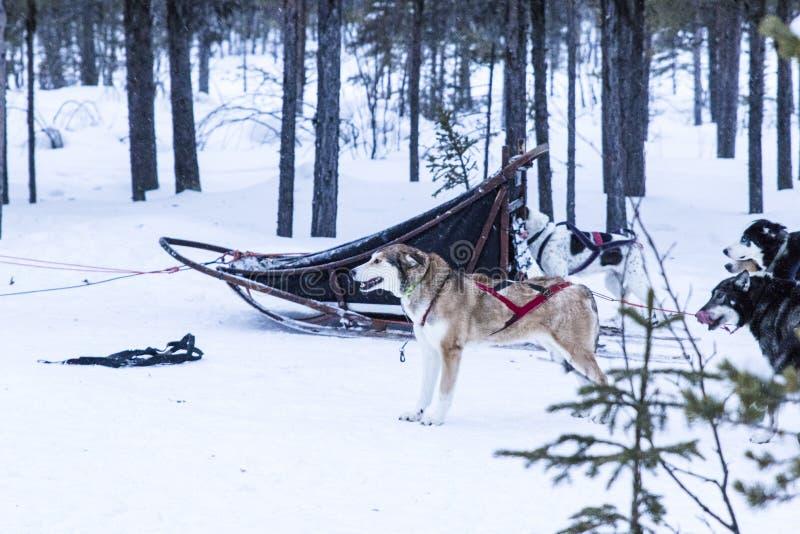Cães de puxar trenós Sledding durante uma ruptura de uma expedição na neve imagem de stock royalty free