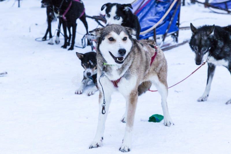 Cães de puxar trenós Sledding durante uma ruptura de uma expedição na neve foto de stock royalty free