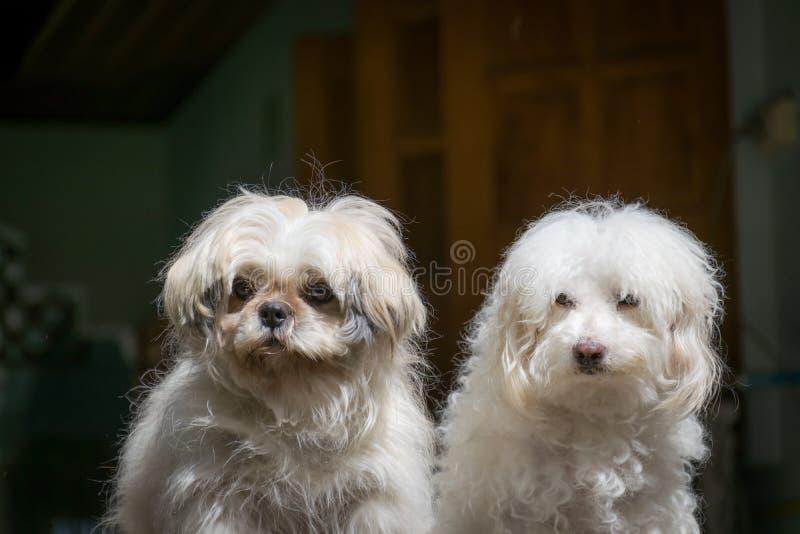 Cães de Shih Tzu e de caniche fotografia de stock