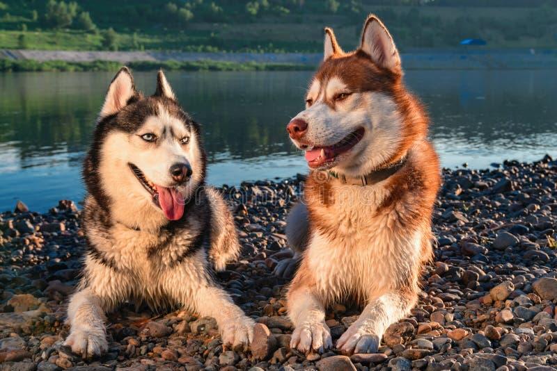 Cães de sorriso dos cães de puxar trenós siberian do retrato Dois cães roncos felizes bonitos que nivelam o retrato no fundo do r fotografia de stock