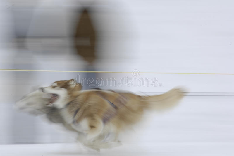Cães De Trenó 02 Imagens de Stock Royalty Free