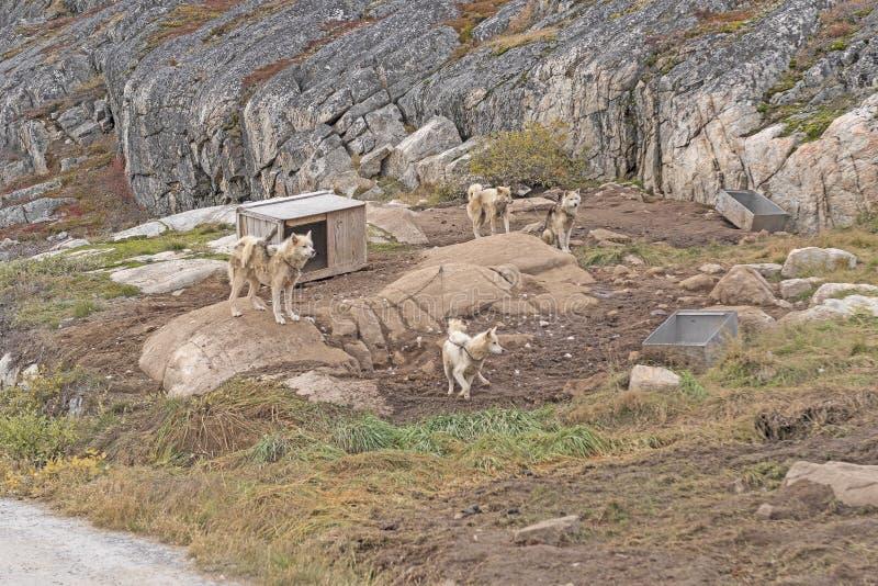 Cães de trenó que esperam em seu canil imagem de stock royalty free