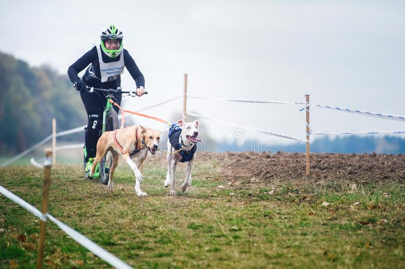 Cães de trenó que puxam o 'trotinette' com mulher, Mushing fora das raças através dos campos da neve na foto ruidosa do tempo out foto de stock