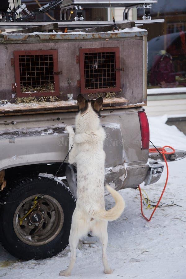 Cães de trenó roncos do Alasca que esperam puxar do trenó Esporte do cão no inverno Cães antes da raça de cão de trenó interurban fotos de stock