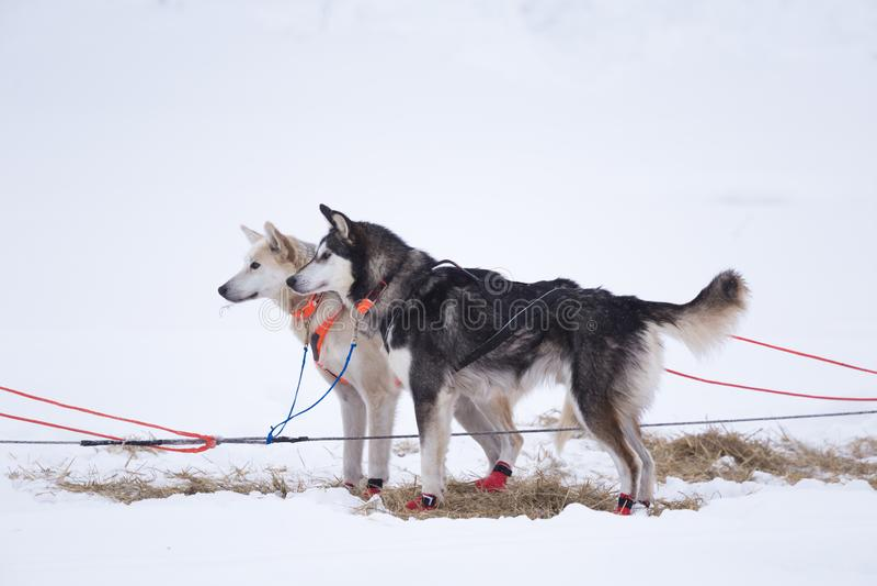 Cães de trenó roncos do Alasca que esperam puxar do trenó Esporte do cão no inverno Cães antes da raça de cão de trenó interurban imagem de stock