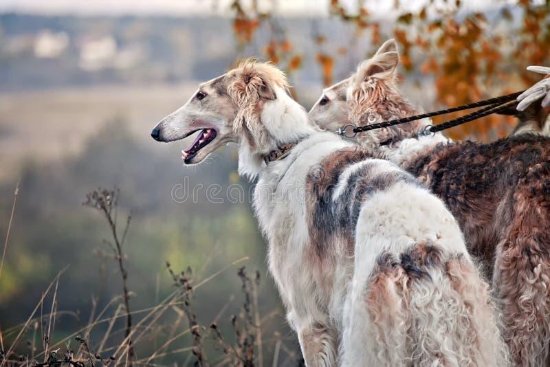 Cães do borzói na caça fotos de stock