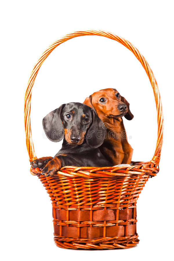 Cães do Dachshund que sentam-se na cesta no branco fotos de stock