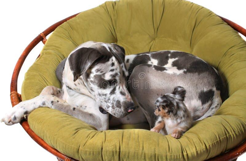 Cães do grande dinamarquês e da chihuahua imagem de stock