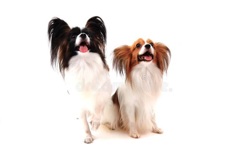cães do papillon isolados imagem de stock royalty free