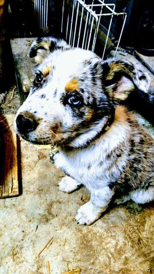 Cães do rancho fotos de stock