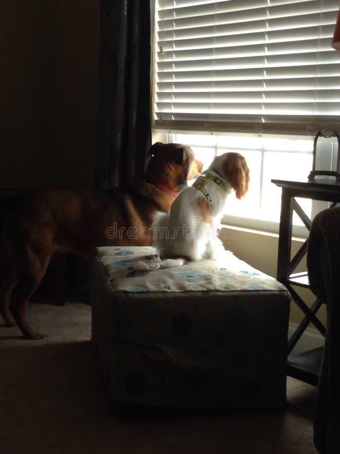 Cães do relógio fotos de stock royalty free