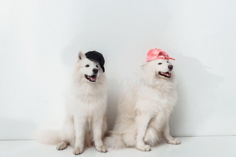 Cães do Samoyed nos tampões imagens de stock