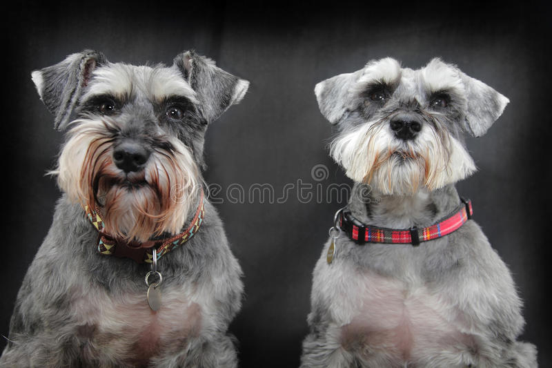 Cães do Schnauzer fotografia de stock royalty free